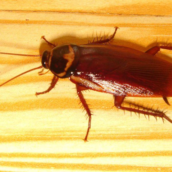 Cockroachcloseup